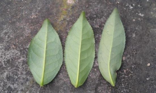背面由左至右:鐵羅漢、四季春、青心烏龍(圖註*)